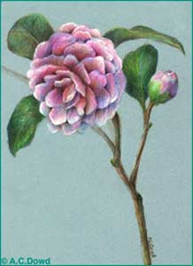 Pink Camelia on a blue board