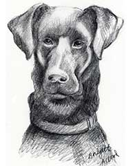 pencil drawing of a black lab dog