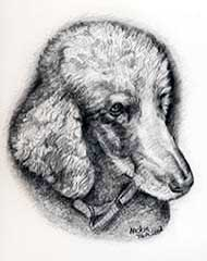 pencil drawing of a gray poodle