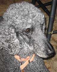 photo of a gray poodle