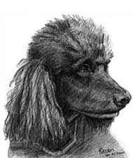 pencil drawing of a black poodle