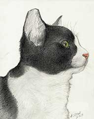 pencil drawing of a tuxedo kitten with color added
