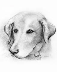 pencil drawing of a yellow lab dog