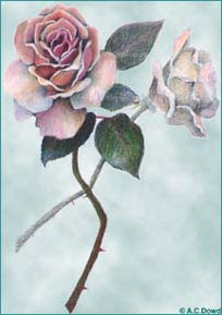 Drawing of roses